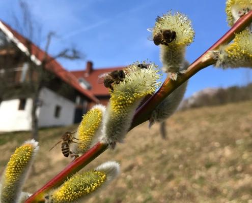 Bienen lieben die blühende Salweide