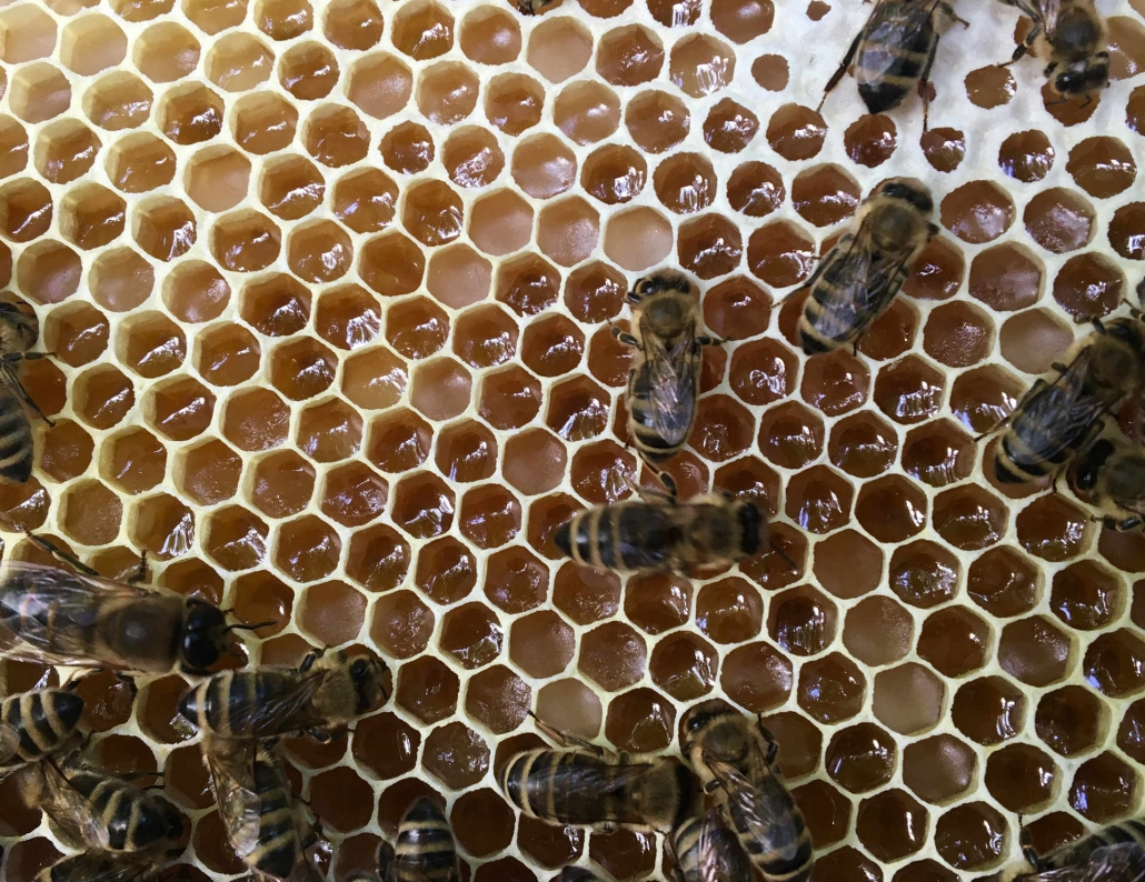 Noch nicht verdeckelte Waben mit Melezitose-Honig