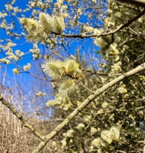 Weidenblüte mit fleißigen Bienen